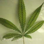 Marijuana nutrient deficiency magnesium