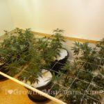Carbon dioxide generators cannabis