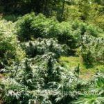 Marijuana plant directly into ground