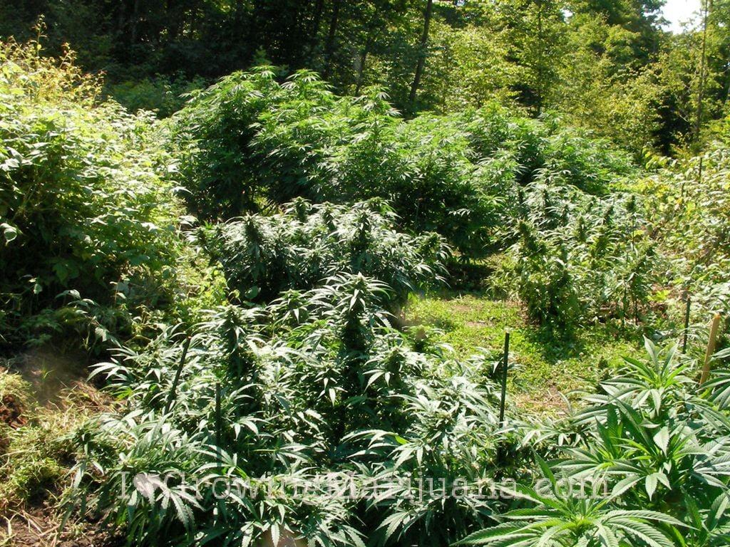 Grow Outdoor Marijuana Get Thriving Plants