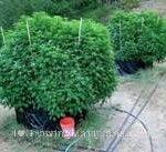 Cannabis plants thriving best