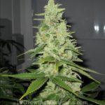 Female cannabis