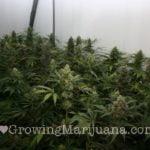 Indoor marijuana huge buds