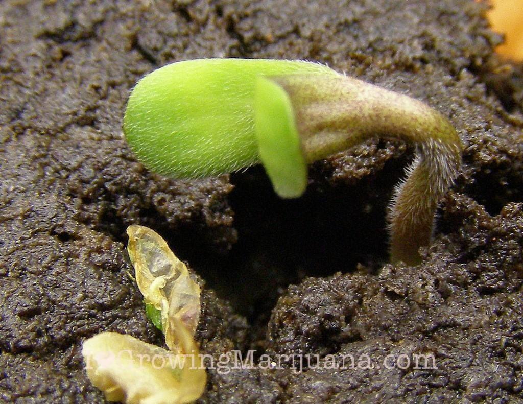 Germinate Marijuana Seeds The Easy Way