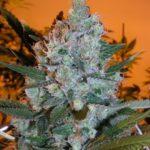 Big fat marijuana flower
