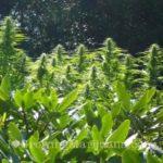Cannabis fertilizer potassium