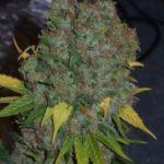 Grow huge weed buds