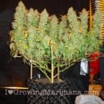 Cannabis pruning stimulate growth