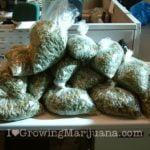 Plastic bags marijuana