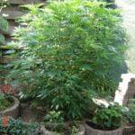 Cannabis nutrients fertilizer composting