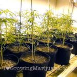 Cannabis overpruning slow growth