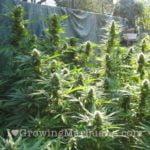 Grow huge cannabis crops