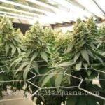 Pruning marijuana bushy plants