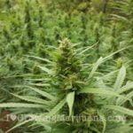 Big outdoor marijuana bud