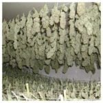 Quick drying cannabis