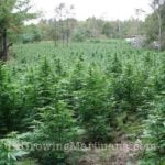 Outdoor marijuana growing farm