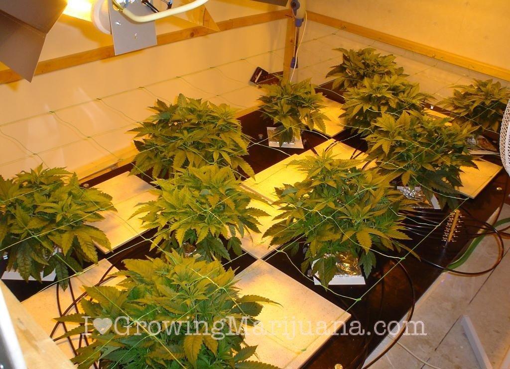 The Life Cycle Of Marijuana Plants
