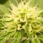 Cannabis bible