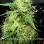 Cannabisb Boron Deficiency Treatment