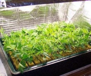 Caring for cannabis clones