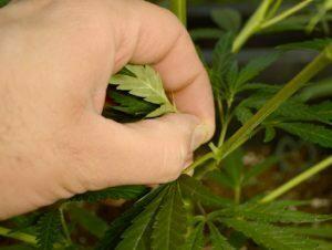 Huge buds when pinching