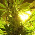 I love marijuana growing lights