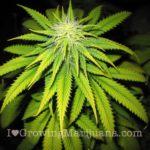 I love marijuana iron deficiency