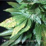 I love marijuana phosphorus deficiency