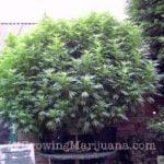 I love marijuana peat pots
