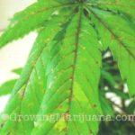 Cannabis pH Level Schedule