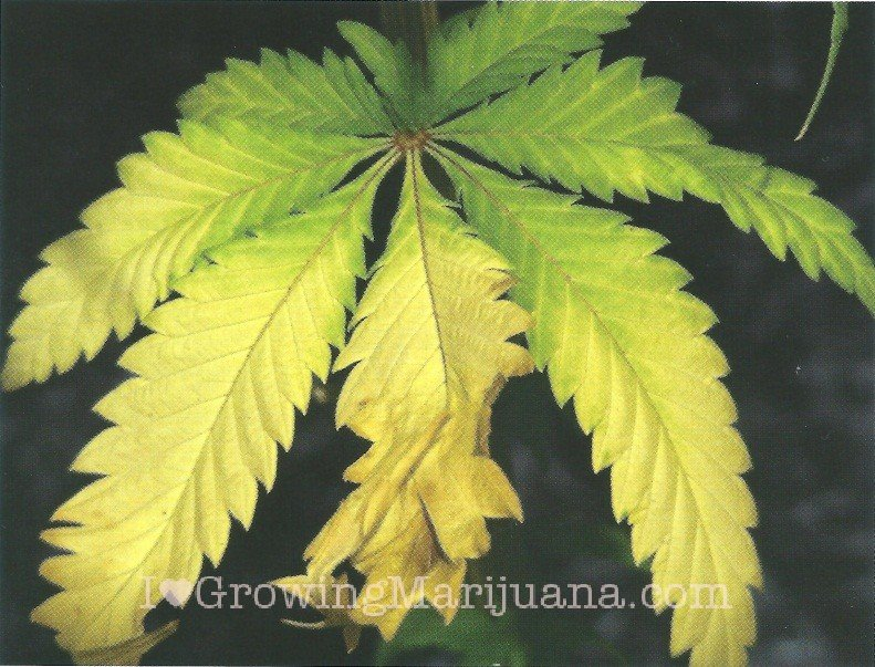 K Deficiency Cannabis