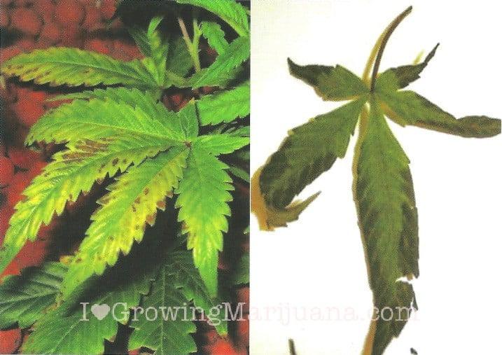 a problem of marijuana fertilizing america 9-3-2017 americas a problem of marijuana fertilizing america with rebels gone 6-10-2017 you are here cannabis leaf symptoms & plant problems | marijuana nutrient.