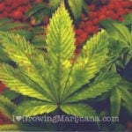 Phosphorus-marijuana-plant-fixes
