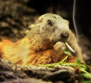 Signs of gophers and moles on weed plants