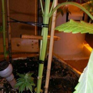 More THC split stem