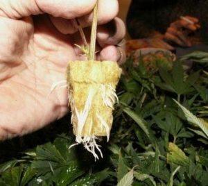 Transplanting cannabis clones