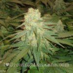 Cannabis flower anatomy
