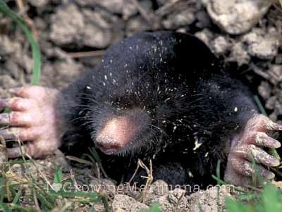Do Moles Have Roots http://www.ilovegrowingmarijuana.com/marijuana-pests-gophers-moles/