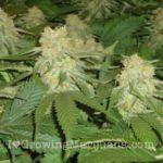 Cannabis pollination