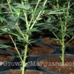 Pruning cannabis plants