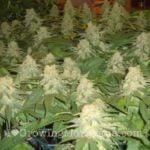 Cannabis female buds