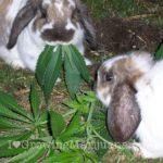 Cannabis pests rabbits