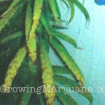 Marijuana micronutrients manganese