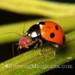 Cannabis pests aphid ladybug