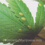 Cannabis pests mealybugs