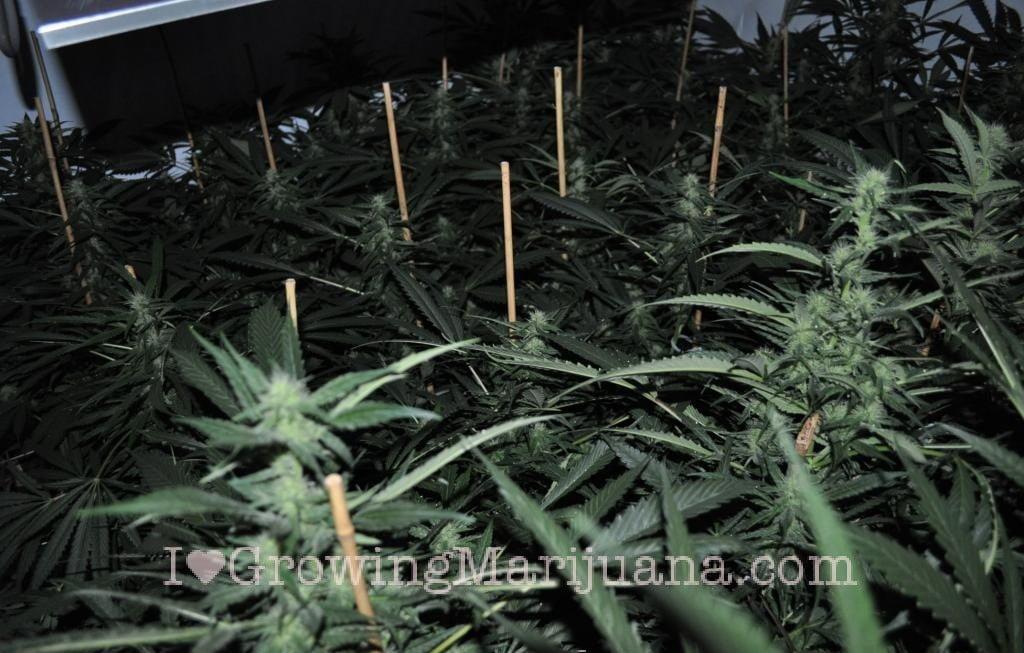 how to get marijuana seeds started