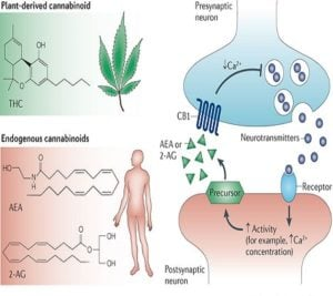 Endogenous cannabinoids cannabis