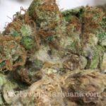 Gray mold marijuana