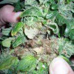 Bud rot marijuana