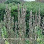 I love marijuana plant moisture stress